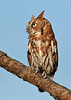 ScreechOwl-AvianReconditioningCenterFL-11-11-17-SJS-002
