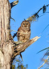 BarredOwl-EmeraldaMarsh-1-8-20-SJS-008