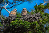 GreatHornedOwlets-FortDeSotoPK-4-12-19-SJS-006