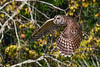BarredOwl-EmeraldaMarsh-11-24-19-SJS-038
