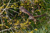 BarredOwl-EmeraldaMarsh-11-24-19-SJS-010