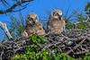 GreatHornedOwlets-FortDeSotoPK-4-12-19-SJS-019