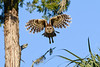 BarredOwl-EmeraldaMarsh-1-8-20-SJS-001