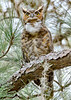 GreatHornedOwl-PineMeadows-11-7-20-sjs-03
