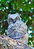 GreatHornedOwl-Owlet-LYE-3-25-19-SJS-002