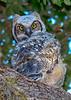 GreatHornedOwl-Owlet-LYE-3-25-19-SJS-003