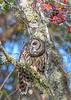 BarredOwl-EmeraldaMarsh-11-24-19-SJS-003