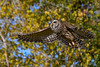 BarredOwl-EmeraldaMarsh-11-24-19-SJS-012
