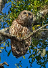 BarredOwl-EmeraldaMarsh-11-22-19-SJS-004