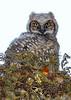 GreatHornedOwl-Owlet-LYE-3-22-19-SJS-004