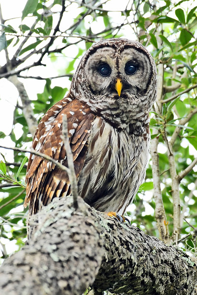 BarredOwl-EmeraldaMarsh-5-26-18-SJS-002