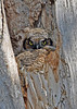 GreatHornedOwl-MageeMarsh-5-7-18-SJS-003