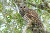 BarredOwl-EmeraldaMarsh-12-29-19-SJS-001