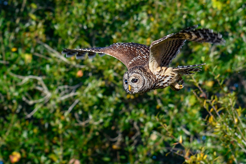 BarredOwl-EmeraldaMarsh-11-24-19-SJS-018