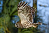 BarredOwl-EmeraldaMarsh-1-15-20-SJS-005