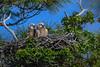 GreatHornedOwlets-FortDeSotoPK-4-12-19-SJS-026