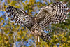 BarredOwl-EmeraldaMarsh-11-24-19-SJS-013