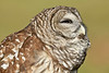 BarredOwl-AvianReconditioningCenterFL-11-11-17-SJS-004