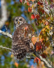 BarredOwl-EmeraldaMarsh-11-24-19-SJS-031