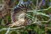 BarredOwl-EmeraldaMarsh-1-15-20-SJS-004