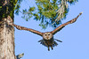BarredOwl-EmeraldaMarsh-1-8-20-SJS-002