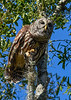 BarredOwl-EmeraldaMarsh-11-22-19-SJS-023