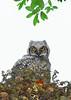 GreatHornedOwl-Owlet-LYE-3-22-19-SJS-001