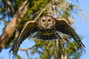 BarredOwl-EmeraldaMarsh-1-8-20-SJS-004