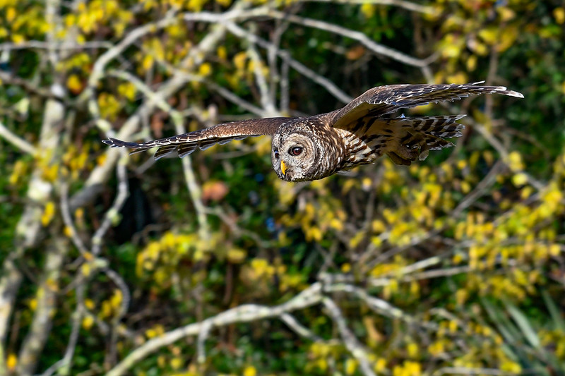 BarredOwl-EmeraldaMarsh-11-24-19-SJS-019