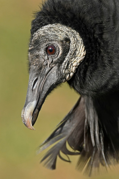 BlackVulture-AvianReconditioningCenterFL-11-11-17-SJS-005