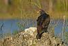 TurkeyVulture-FakahatcheeStrandPreserveCopelandFL11-19-17-SJS-001