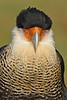Caracara-AvianReconditioningCenterFL-11-11-17-SJS-005