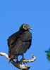 BlackVulture-MerrittIslandNWR-FL-1-10-17-SJS-04
