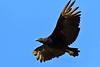 BlackVulture-BalconesNWR-MarbleFallsTX7-6-18-SJS-002