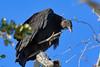 BlackVulture-MerrittIslandNWR-FL-1-10-17-SJS-03