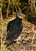 BlackVulture-EmeraldaMarsh-1-3-19-SJS-004