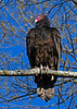 TurkeyVulture-Virginia-4-30-18-SJS-001