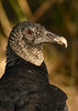 BlackVulture-EmeraldaMarsh-1-3-19-SJS-001