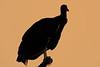 BlackVulture-OaklandNaturePreserve-FL-2-28-17-SJS-001