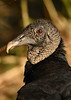 BlackVulture-EmeraldaMarsh-1-3-19-SJS-002