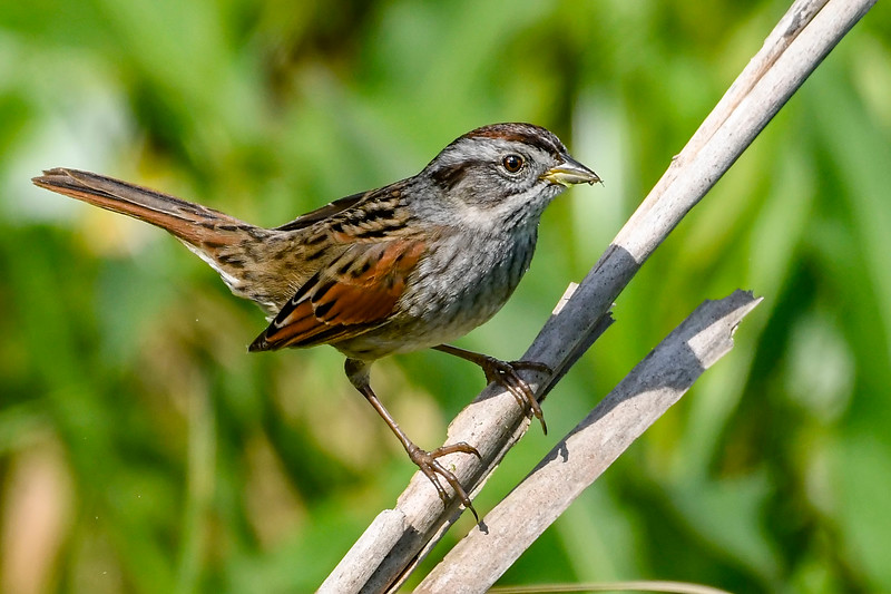SwampSparrow-EmeraldaMarsh-2-27-19-SJS-004