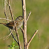 SwampSparrow-CircleB-Bar-FL-11-7-17-SJS-003