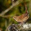 HouseWren-OcalaNationalForest-11-7-19-SJS-005