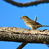 SavannahSparrow-OrangeCoFlorida12-27-16-SJS-001