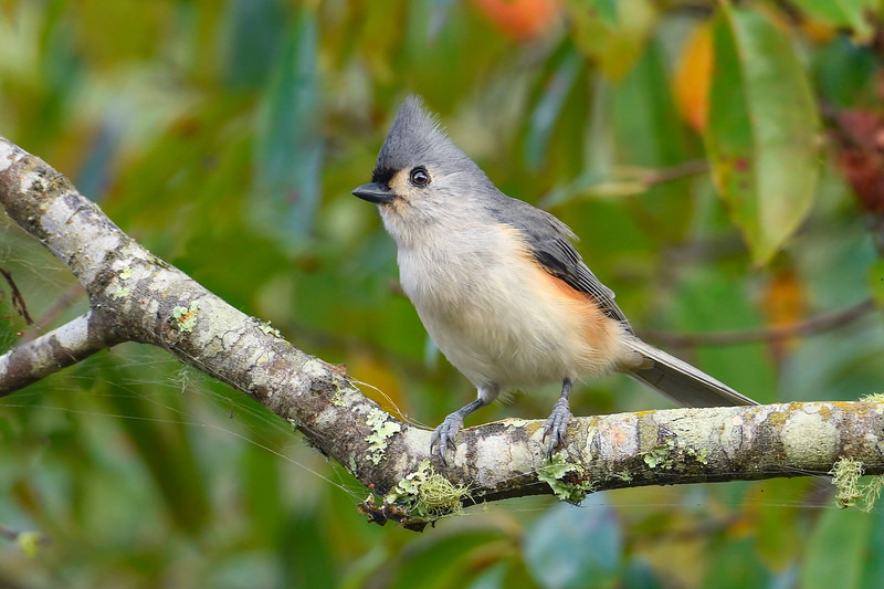 TuftedTitmouse-EmeraldaMarsh 10-22-19-SJS-003