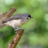 TuftedTitmouse-BourlayNatureParkFL-10-15-19-SJS-001