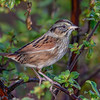 SwampSparrow-EmeraldaMarsh-12-23-19-SJS-003