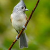 TuftedTitmouse-EmeraldaMarsh-10-4-20-sjs-04