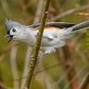 TuftedTitmouse-EmeraldaMarsh-1-29-20-SJS-007