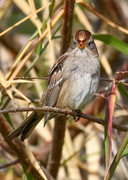 White-CrownedSparrow-LAWD-1-9-19-SJS-006